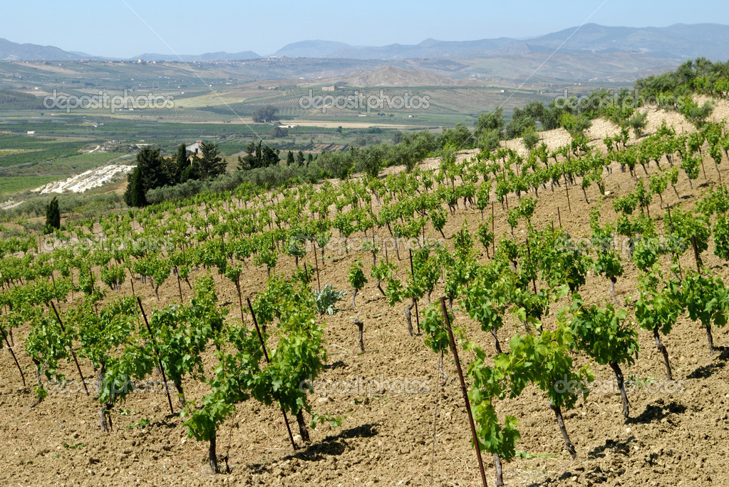Vineyard in sicily rural area