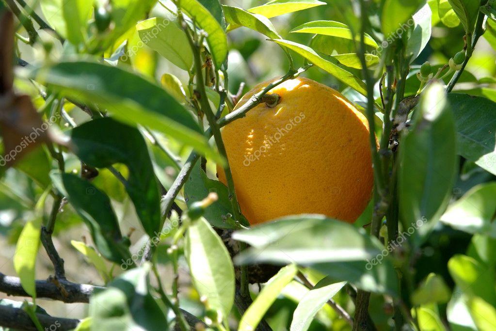 Mature orange on tree