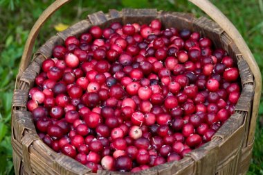 Cranberry crop in a basket.