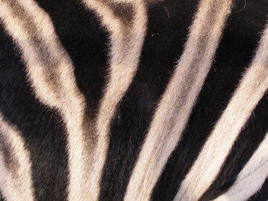 The skin of zebra