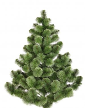 Green christmas pine without decoration.