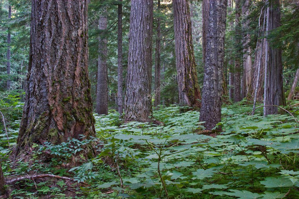 Coastal Pacific Northwest forest
