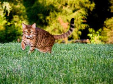 Orange bengal cat facing camera