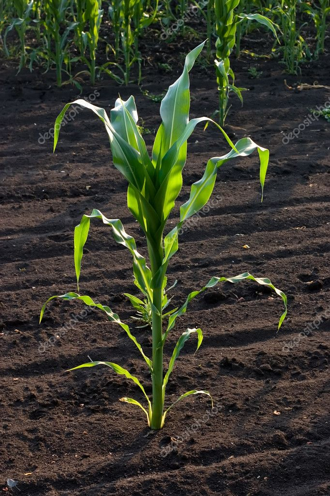 Corn Stalk on Plantation