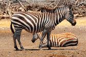 Fényképek Zebra