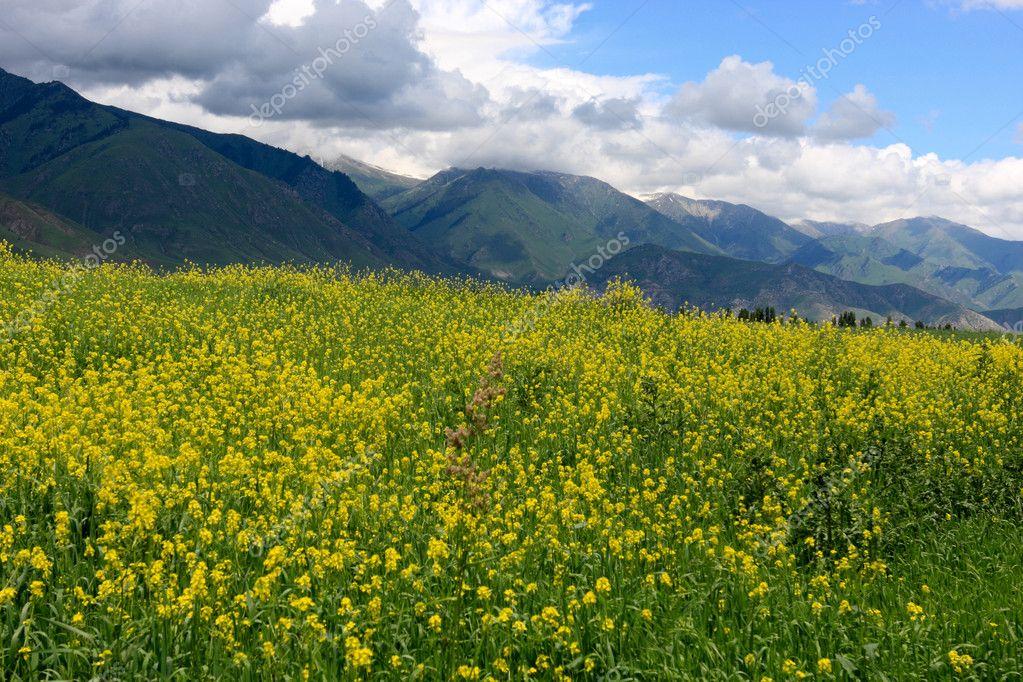 Yellow alfalfa