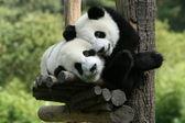 Fotografie Panda