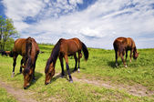 Herd of wild steppe horses on graze