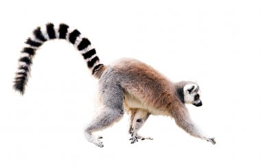 Lemur on white