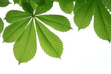 Leaf of chestnut