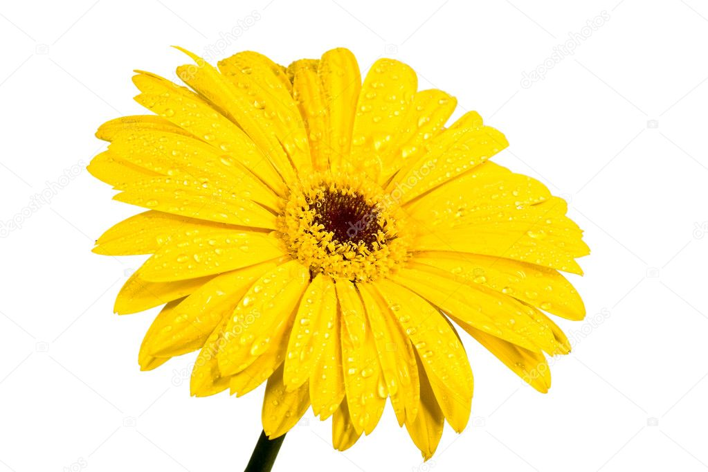 Gerbera a bright yellow flower