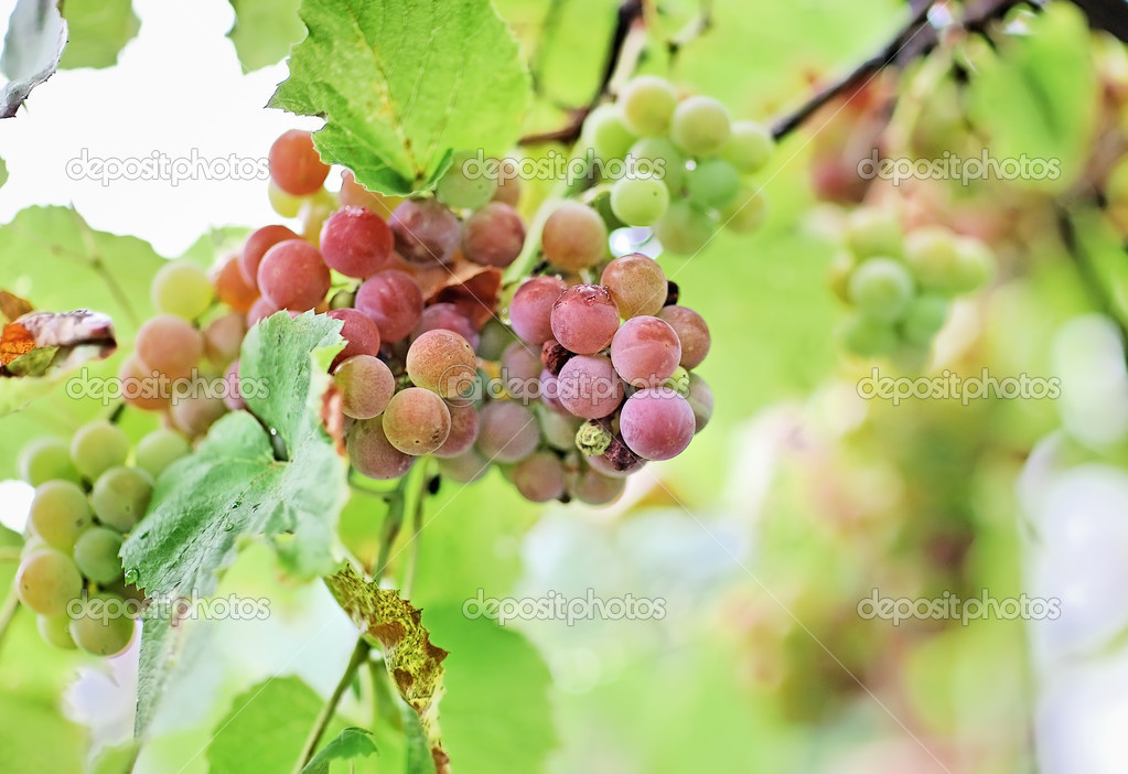 Bunches of white grapes with water drops