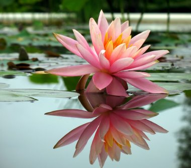 Beautiful Water Lily in a Pond