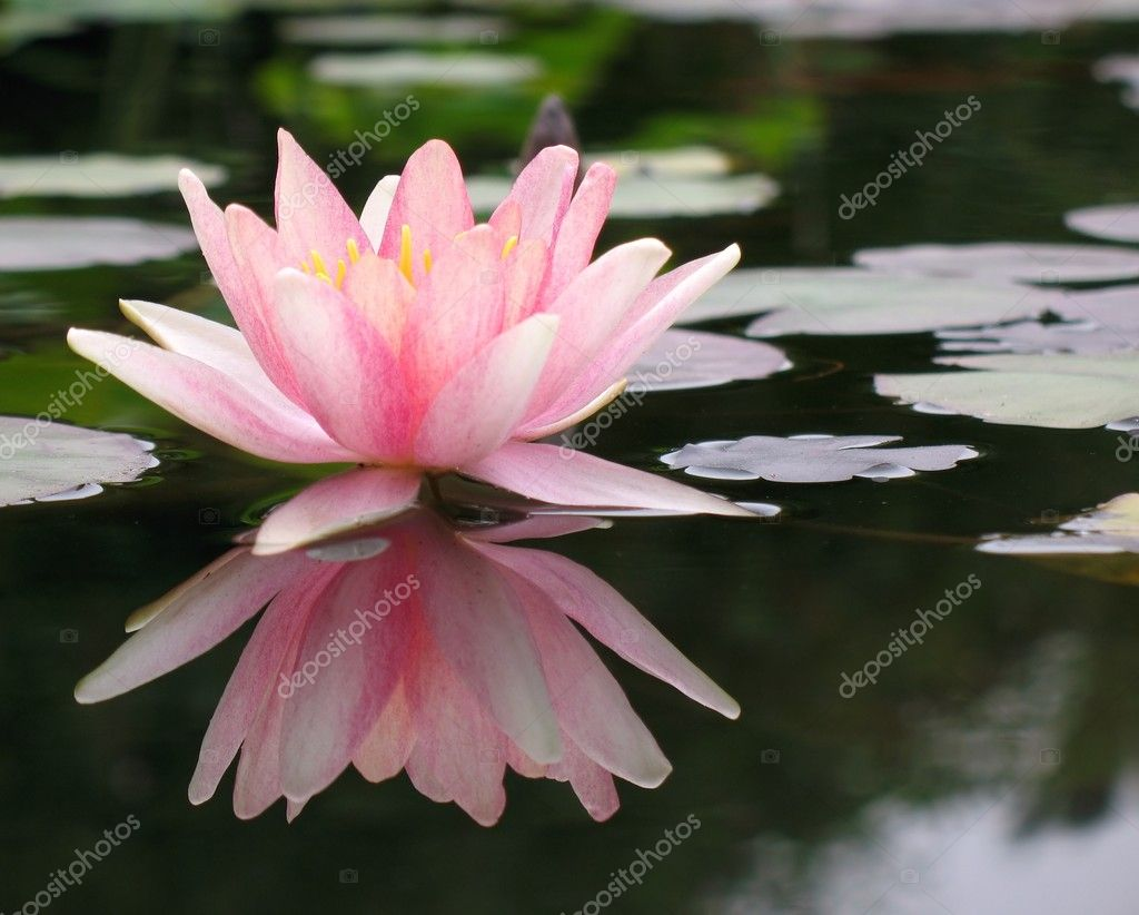 Floating water lily stock photo shiyali 1077544 for Floating flowers in water