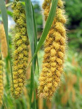 Ripe Millet Heads