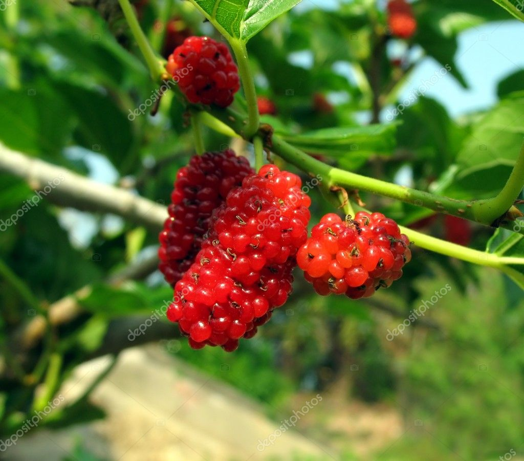 Fruit of the White Mulberry