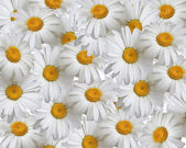 Summer background, daisies