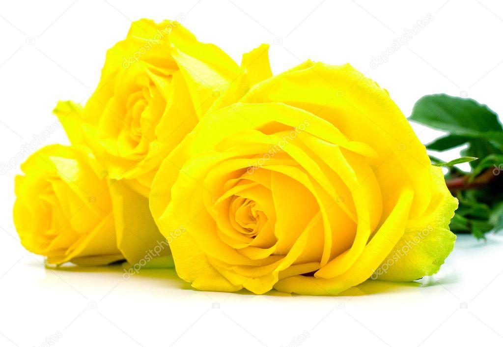 Resultado de imagem para rosas amarelas fotos