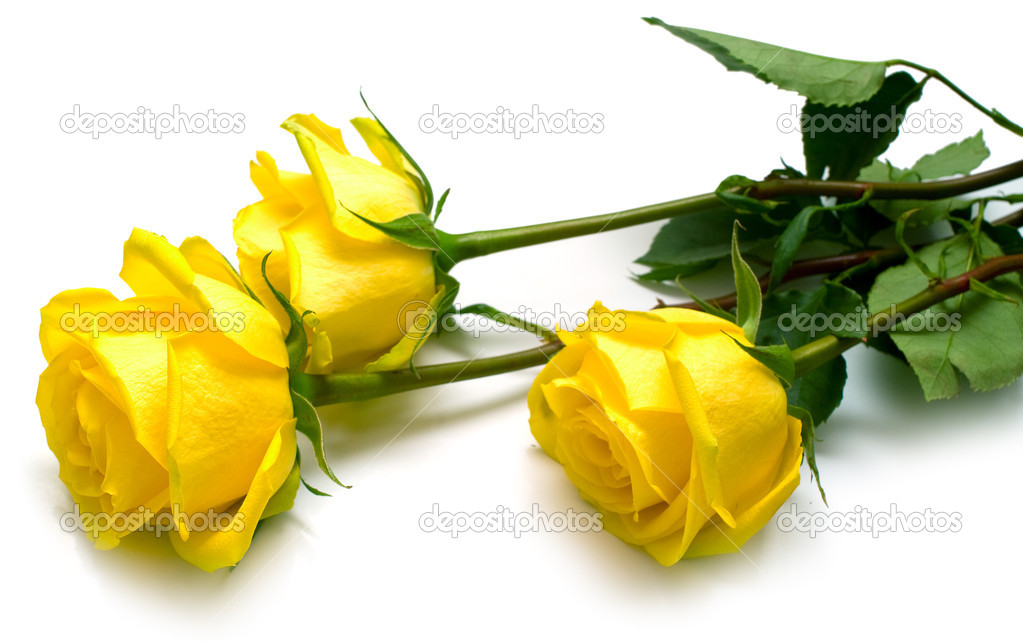 Yellow roses on white