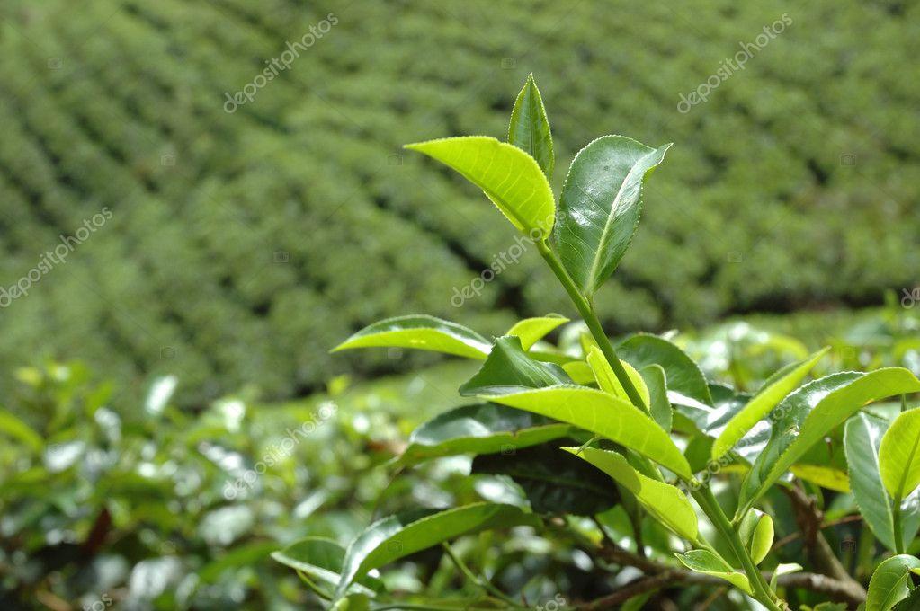 Sri Lanka tea plantation near Hatton