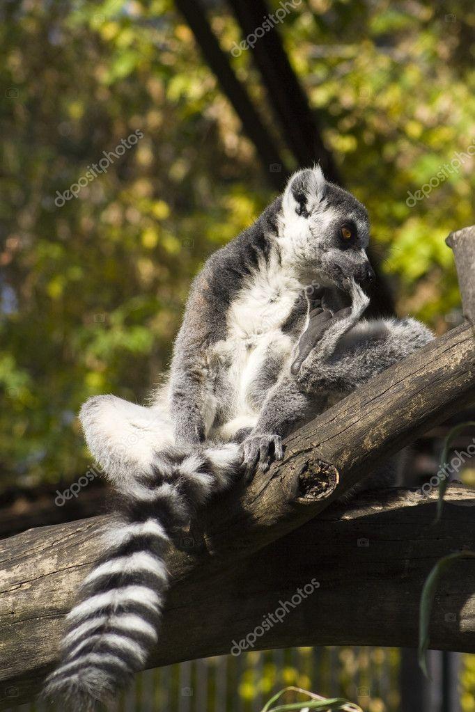 Lemur on the tree