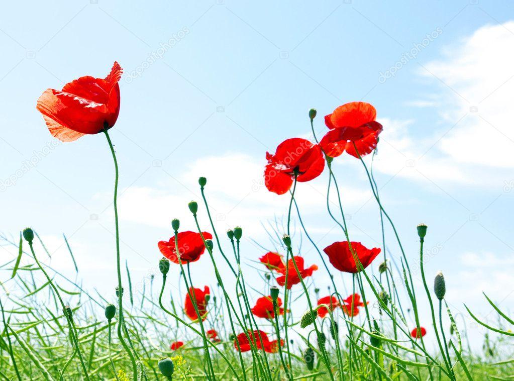 Фотообои Красный Мак