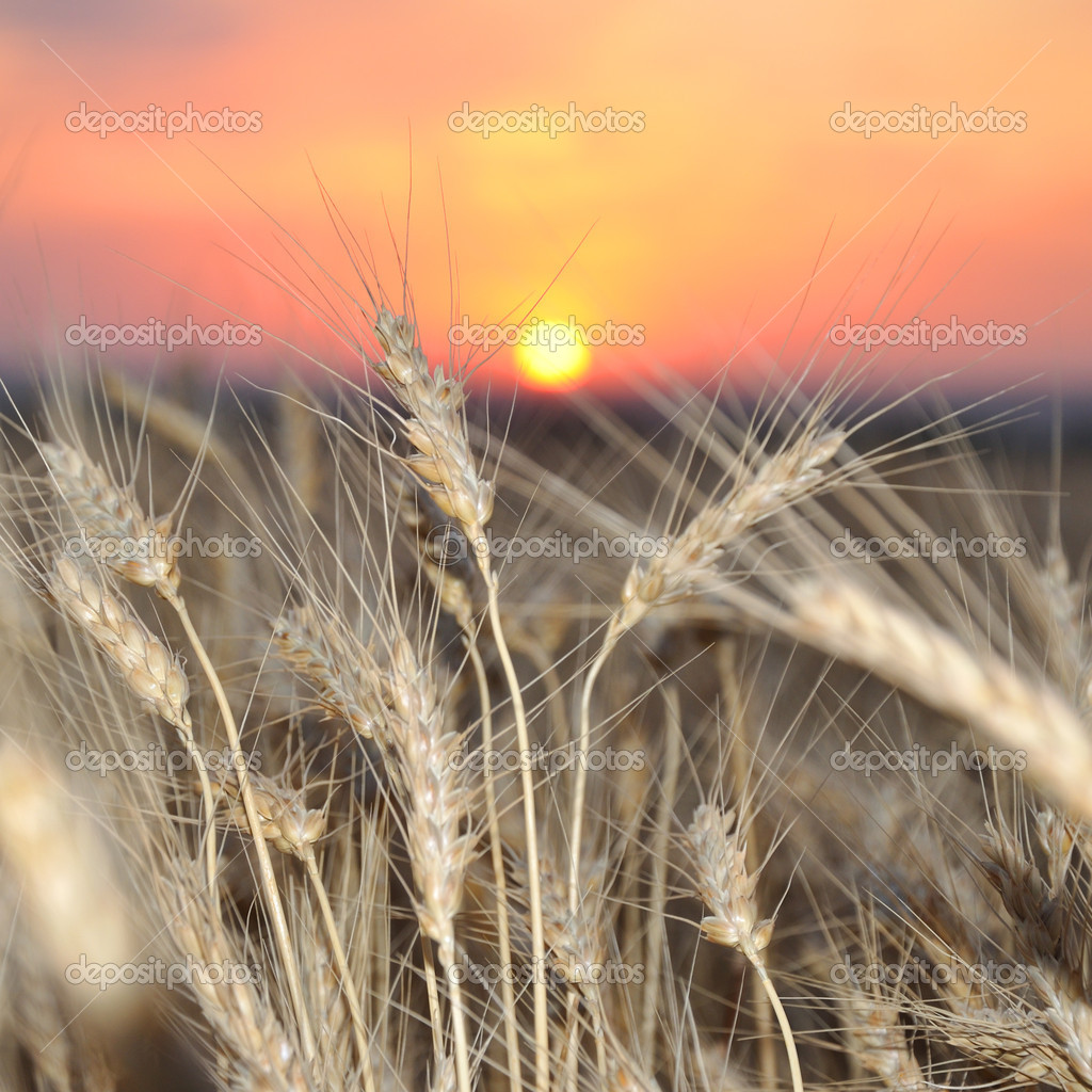 Wheat crop on a sunset
