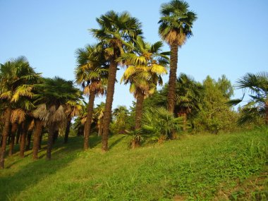 Palm trees in Sochi arboretum
