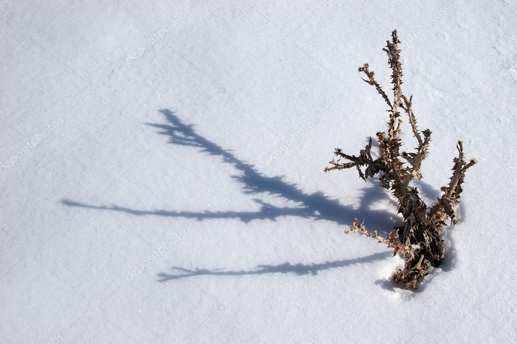 Withered thistle with shadow at snow