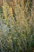 Fotografie Wormwood (Artemisia)
