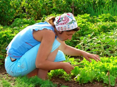 Cropping lettuce