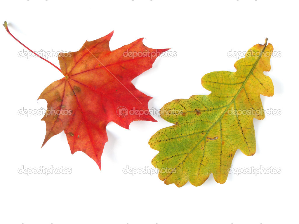 картинки листьев клёна