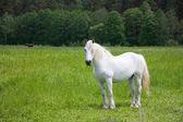Fotografia cavallo bianco sul prato