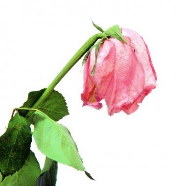 Withered pink rose