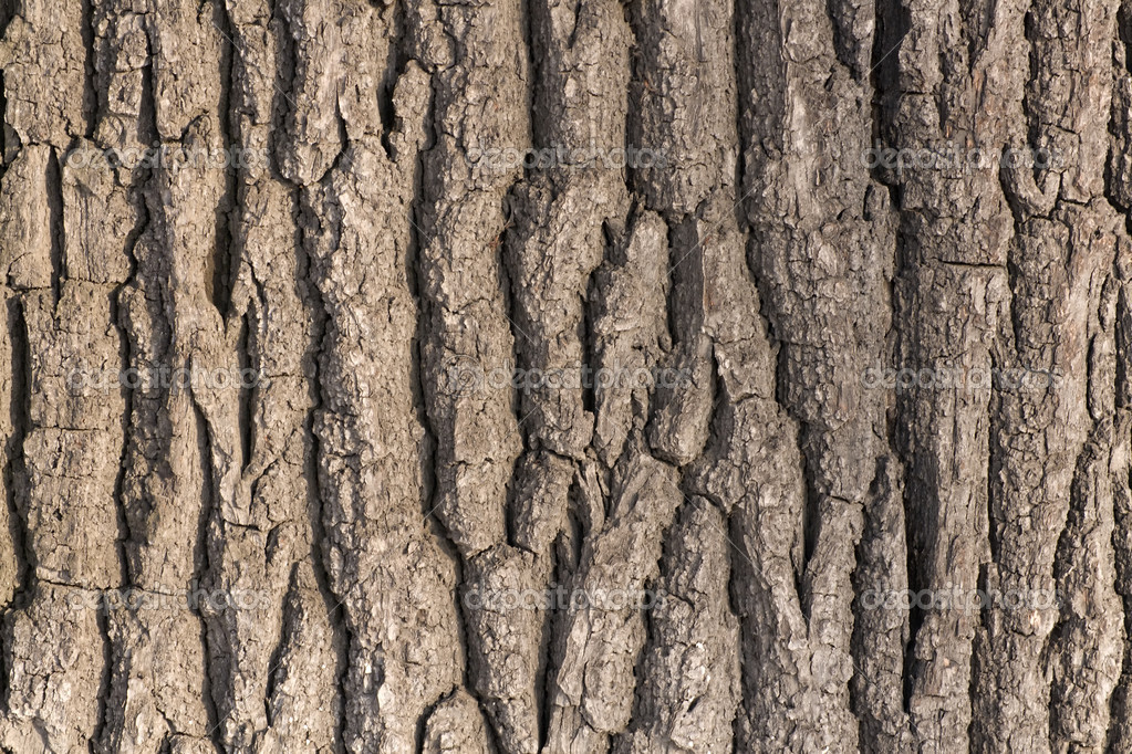 Oak tree bark