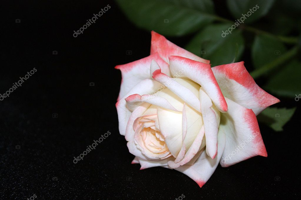 Gentle white rose