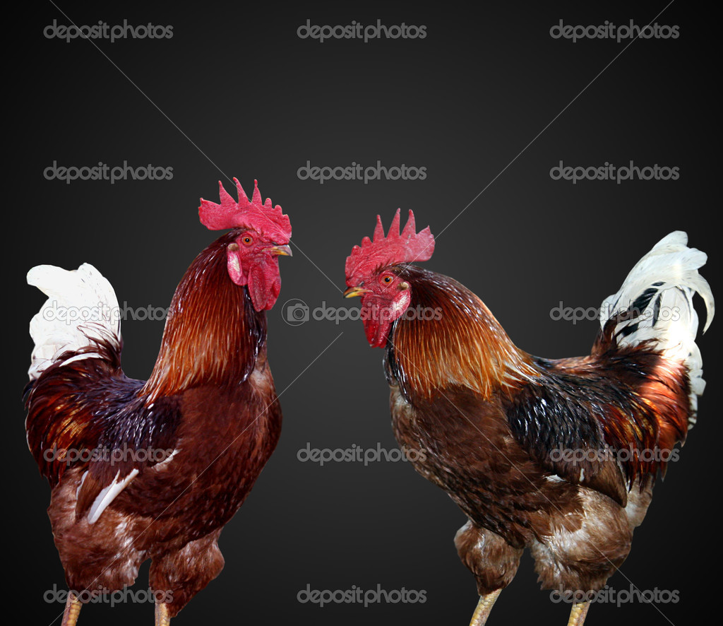 Two beautiful and bright cock separately