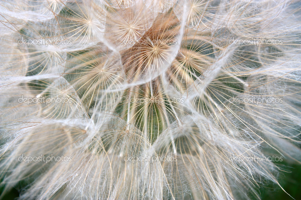 The big dandelion on a green background