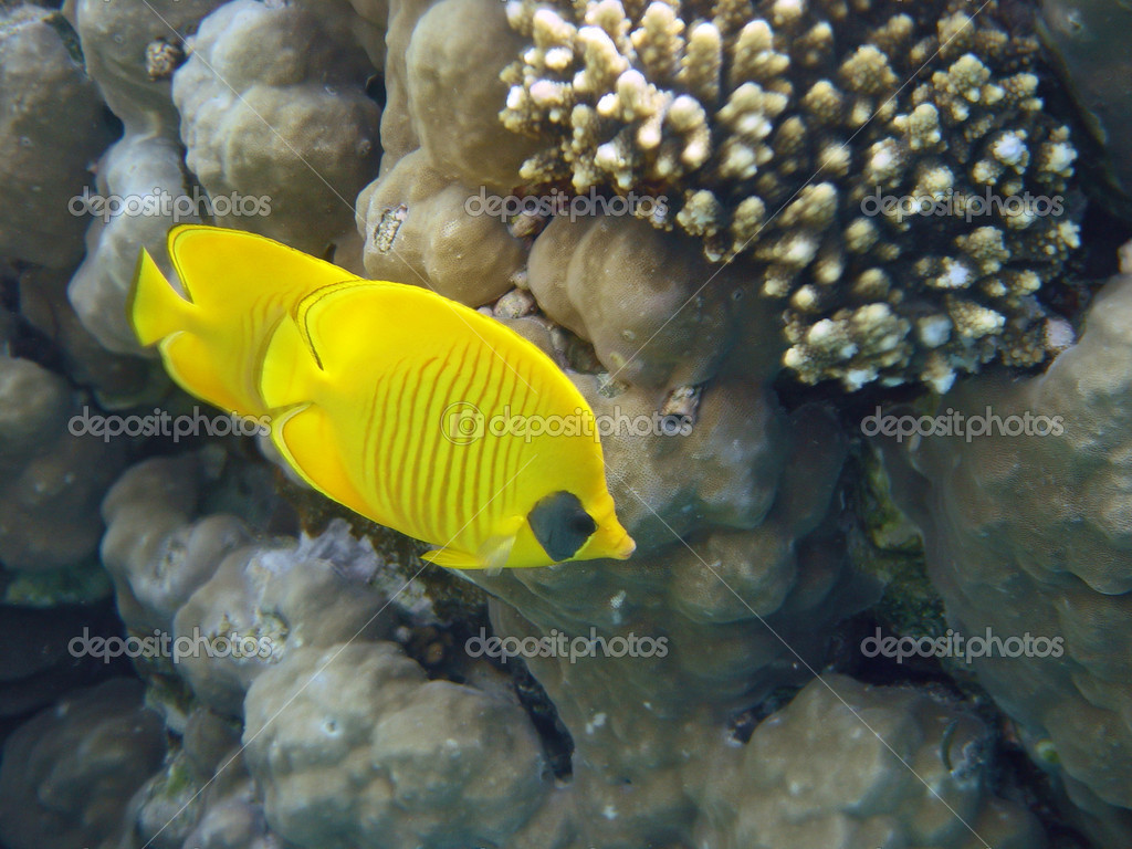 Masked Butterfly Fish always in pair