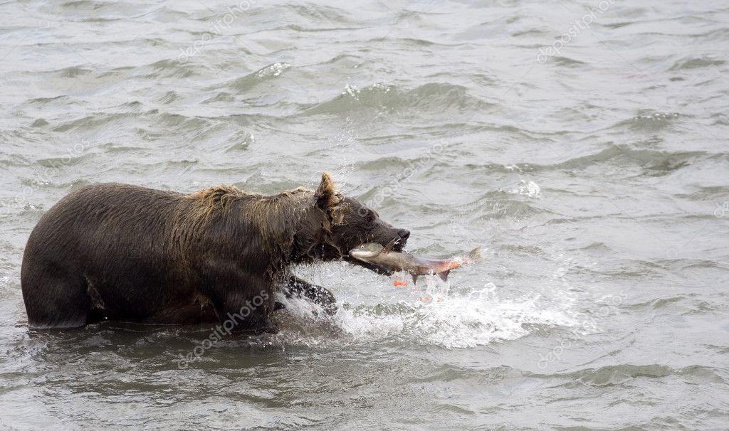 Brown bear and fish