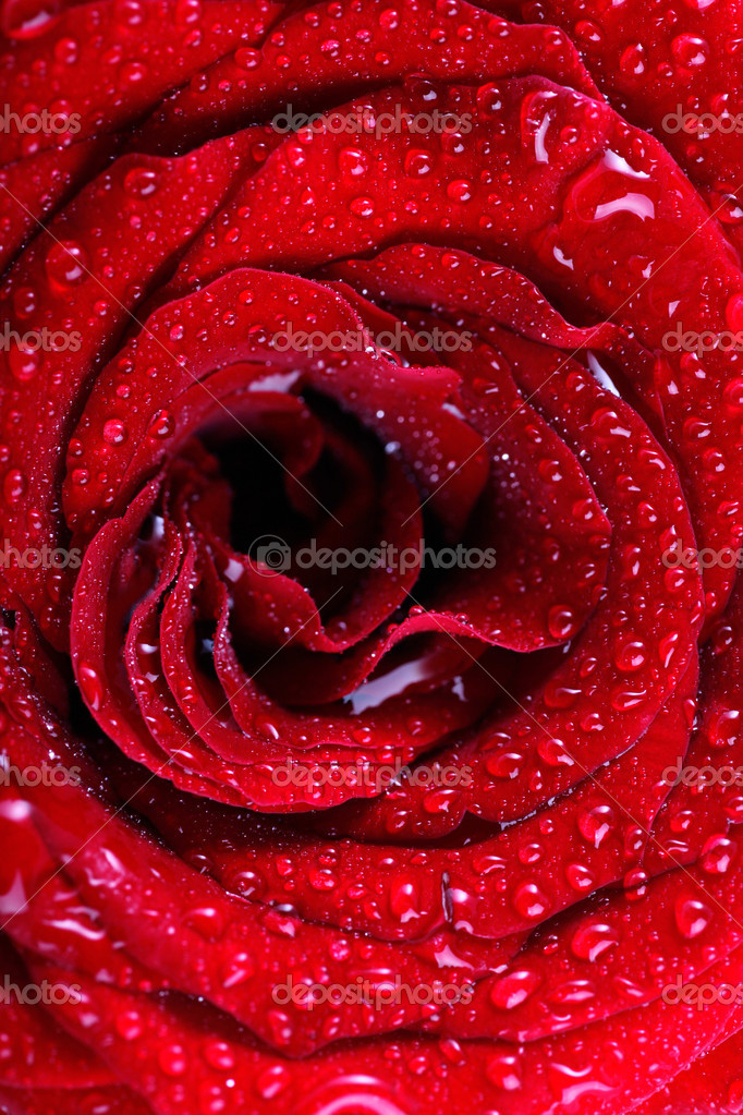 Red rose background with water drops
