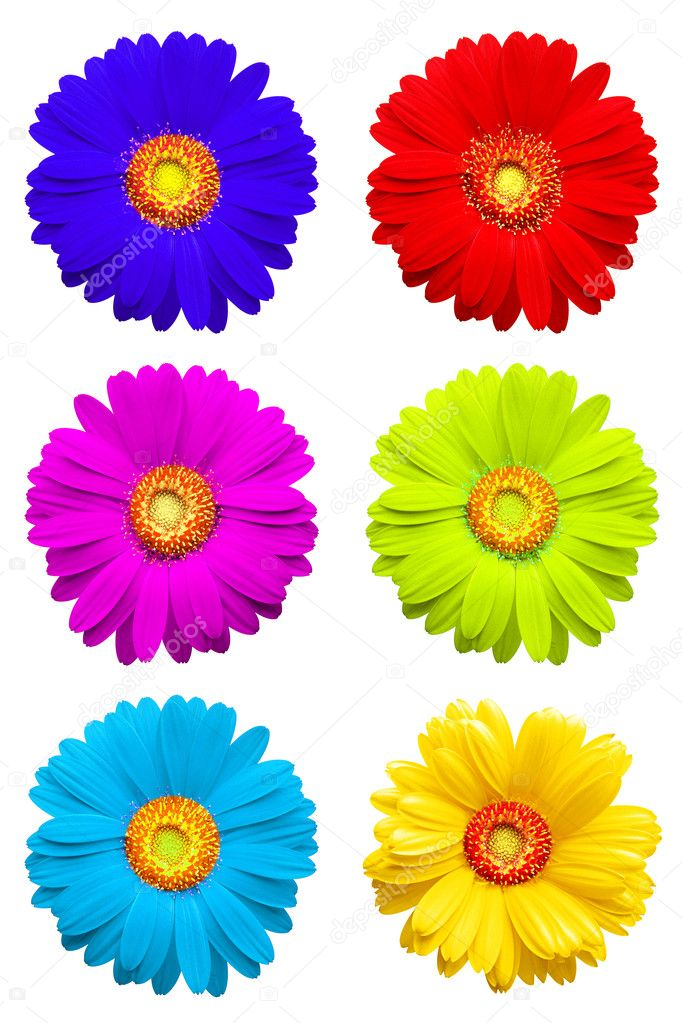 Colorful gerber isolated on white