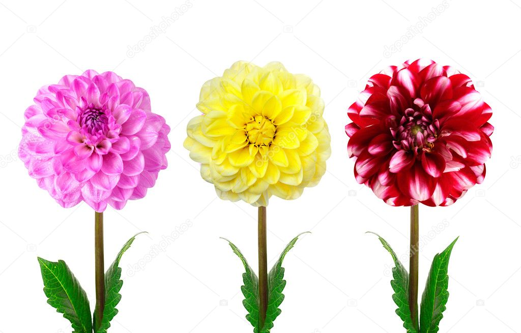 Colorful dahlia flowers isolated