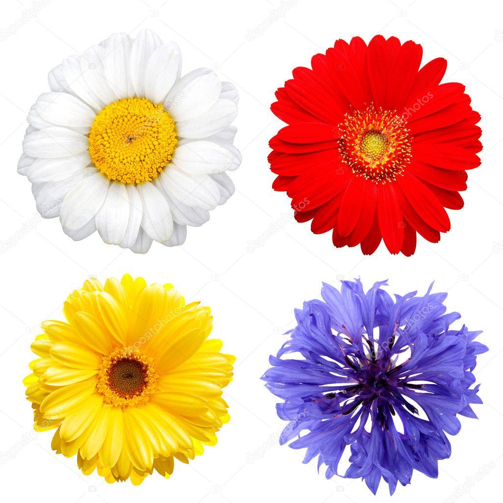 цветы картинки на белом фоне