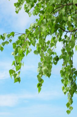 Leaves on a birch