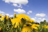 Flower dandelion on sky