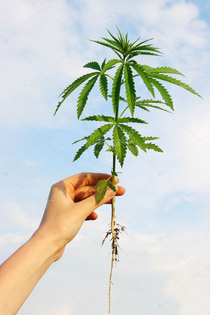Hemp in his hand