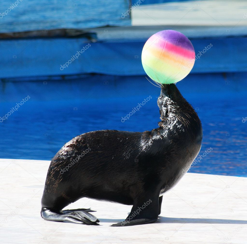 Fur Seal performing at Circus