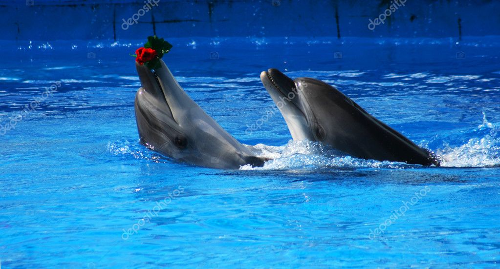 Two dolphins in the swimming pool