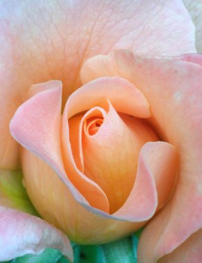 Fresh rose, tenderness